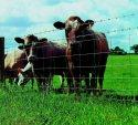 Ukraina.Stada krow,owiec,koz 4 zl/kg.Farma mleczna.Tanio